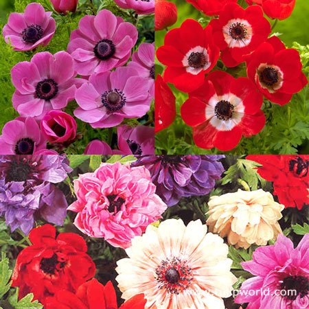 Hot Anemone Collection