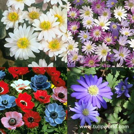 Cool Anemone Collection