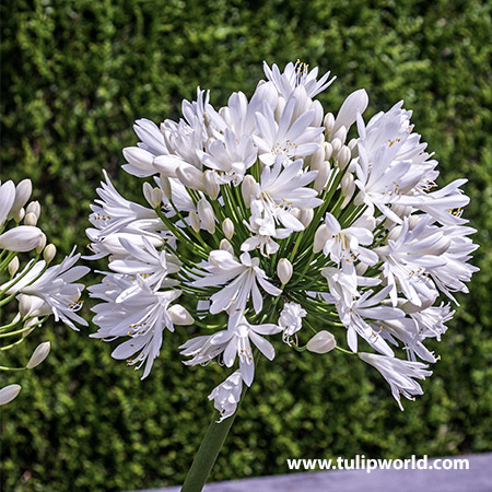 White Superior Agapanthus