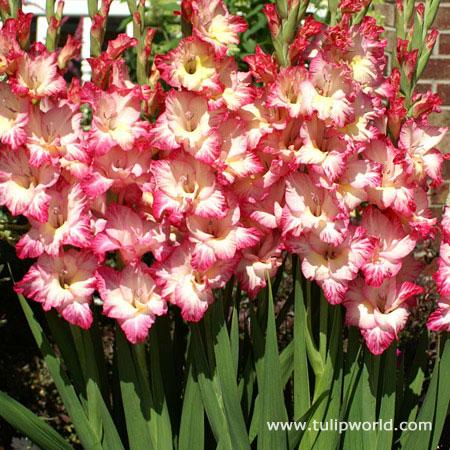 Priscilla Gladiolus