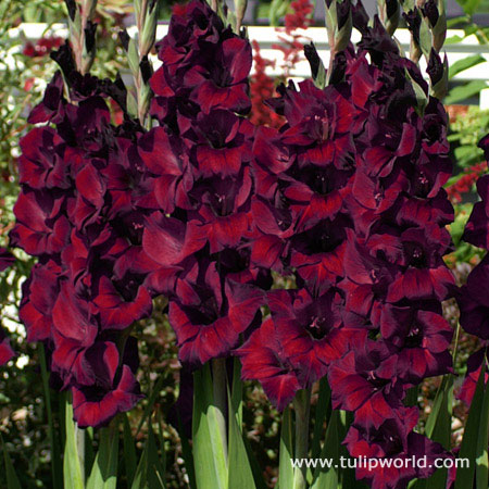 Espresso Large Flowering Gladiolus