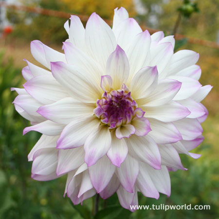 Ferncliff Illusion Dinnerplate Dahlia