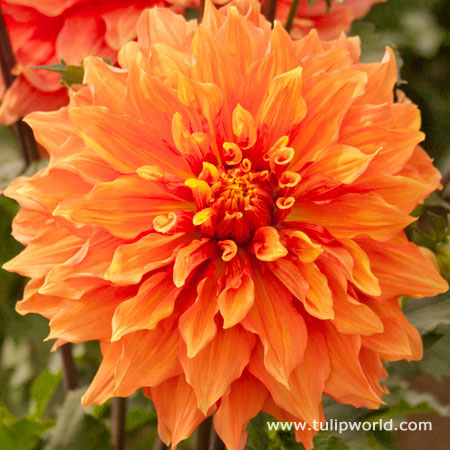 Mrs. Eileen Dinnerplate Dahlia