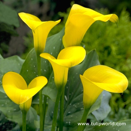 Golden Star Hybrid Calla Lily
