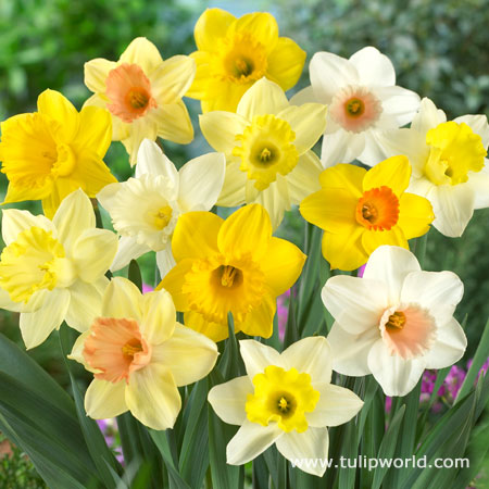 Mixed Daffodils 250 per package - 32004
