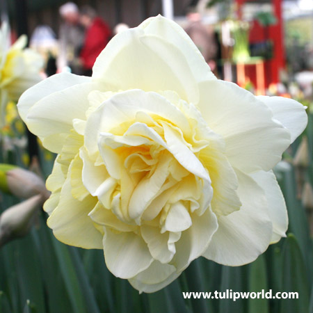 Ice King Daffodil Narcissus