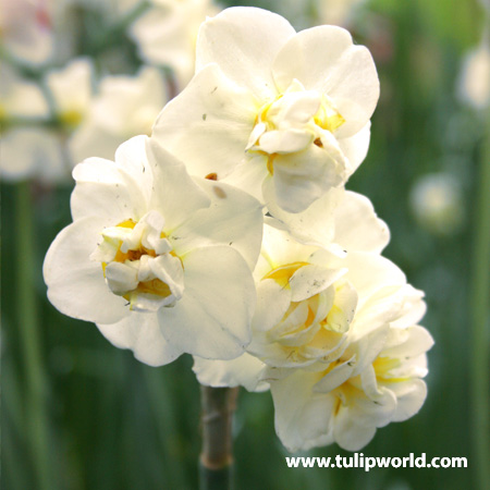 Sir Winston Churchill Narcissus