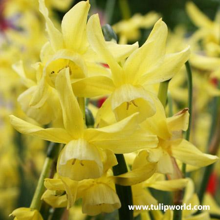 Quail Miniature Daffodil