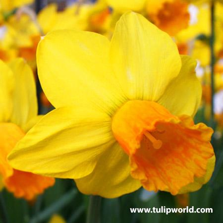 Jetfire Daffodil Narcissus