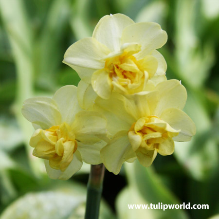 Yellow Cheerfulness Narcissus - 32137