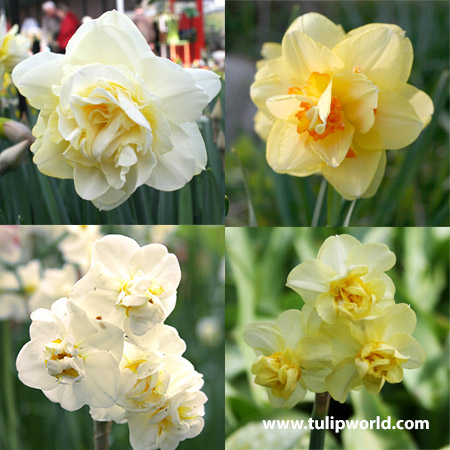 Double Flowering Daffodil Collection