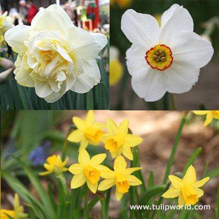 All Spring Daffodil Garden
