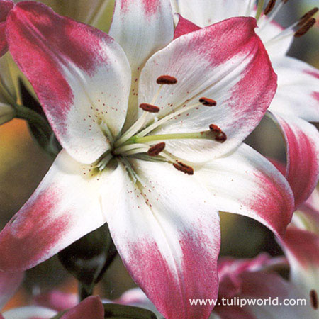 Lollypop Asiatic Lily