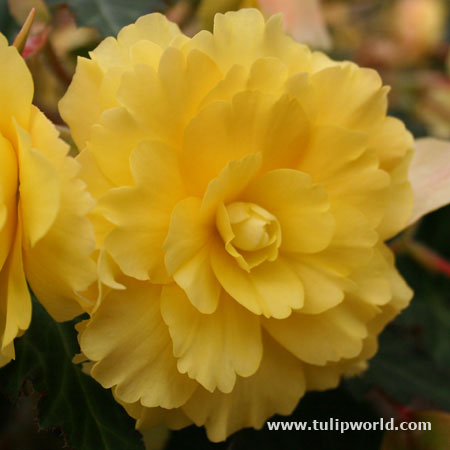Yellow Hanging Basket Begonias