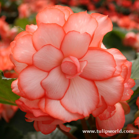 White/Red Picotee Begonia