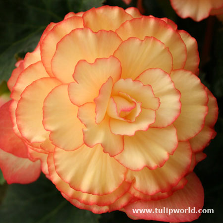 Yellow/Red Sunburst Picotee Begonia