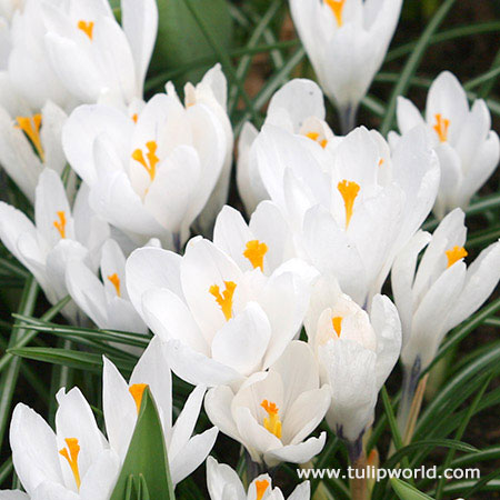 Joan of Arc Crocus - 33104