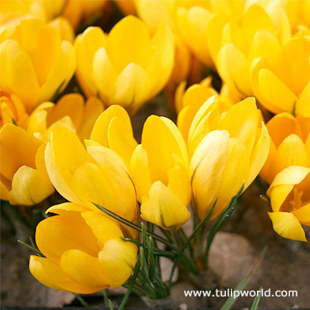 Yellow Mammoth Crocus