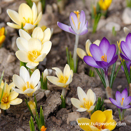 Mixed Botanical Crocus - 33140