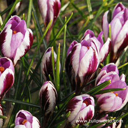 Spring Beauty Crocus