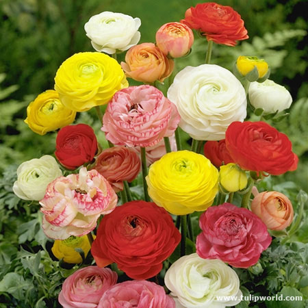 Mixed Colors Ranunculus Buttercup