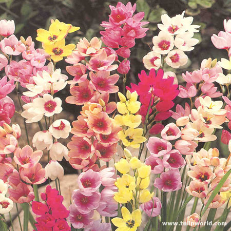 Ixia Mixed (African Corn Lily)