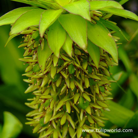Bicolor Eucomis - (Pineapple Lily)