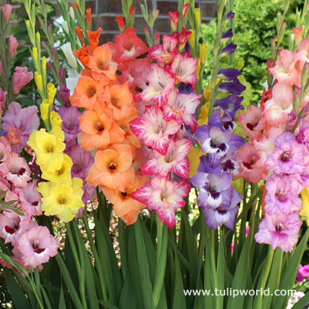 April in Paris Pastel Gladiolus Mix