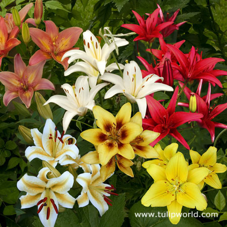 Mixed Asiatic Lilies Super Pack