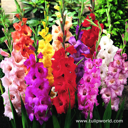 Mixed Gladiolus Value Pack - 26134
