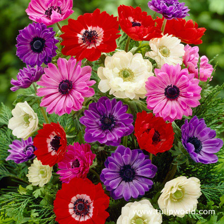 Mixed St. Brigid Anemone