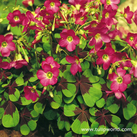 Iron Cross Oxalis Shamrock Plant