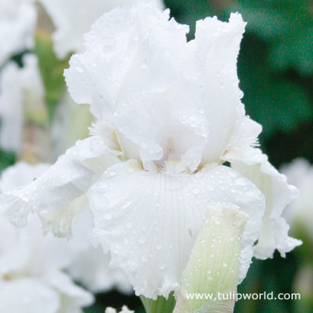 Immortality Reblooming Iris