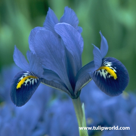 Aida Reticulata Iris