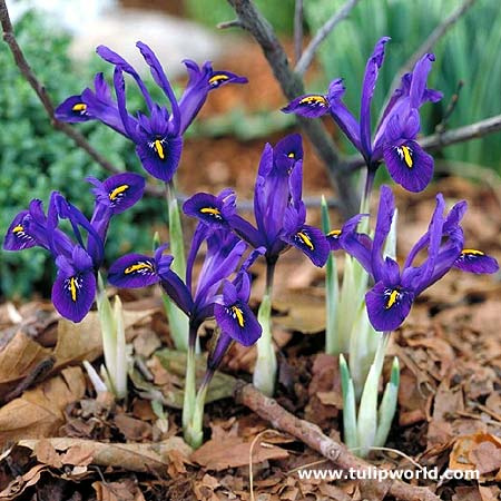 Pauline or Violet Beauty Reticulata Iris