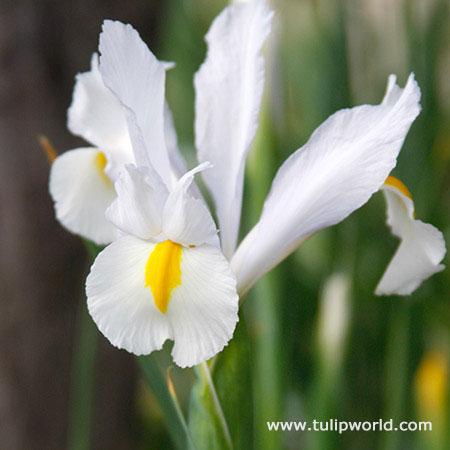 White Van Vliet Dutch Iris