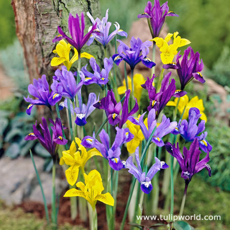 Early Royal Dwarf Dutch Iris Mix