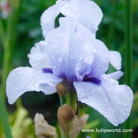 Blackbeard Bearded Iris