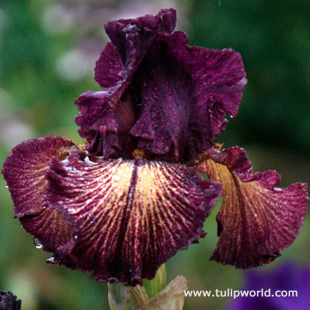 Devils Playground Bearded Iris