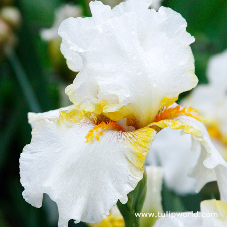 Goldkist Bearded Iris