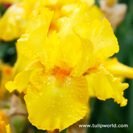 Mostest Bearded Iris