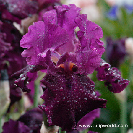 Plum Fun Bearded Iris