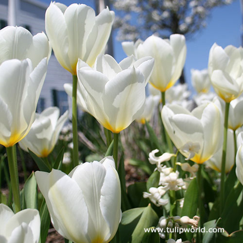 White Tulip Purissima 100 bulbs