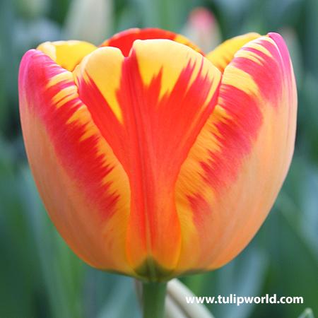 Banja Luka Darwin Hybrid Tulip - 38115