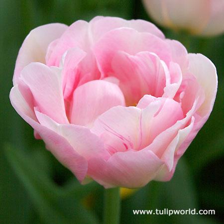 Finola Double Tulip