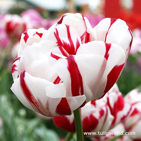 Carnaval De Nice Double Tulip - 38122