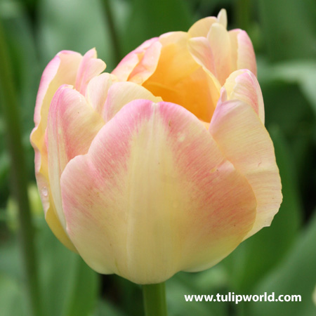 Creme Upstar Double Tulip