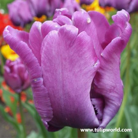 Negrita Parrot Tulip