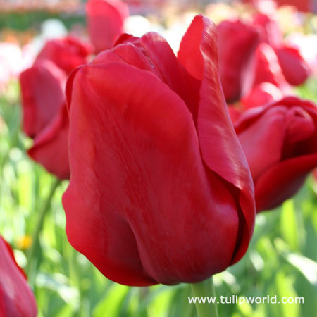 Escape Triumph Tulip
