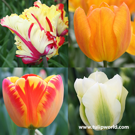 Tulip Cutting Garden Collection